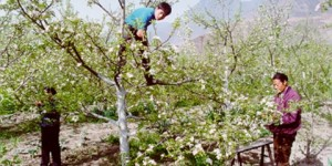 Human pollination by hand in China without honey bees