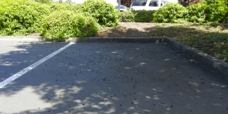 Oregon bees die off on a Target parking due to neonicotinoids pesticides